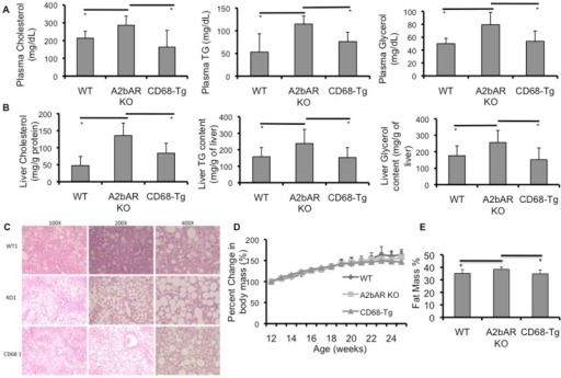 Macrophage A2bAR affects plasma and hepatic lipids and percent fat mass.Plasma and liver were collected from WT (n = 6), A2bAR KO (n = 6), and CD68-Tg (n = 6) male mice following 16 weeks of HFD. Plasma and liver cholesterol and triglyceride (TG) was measured as described in the methods. H&E staining of paraffin embedded liver was performed as in the methods and body mass was determined weekly Data are averages ± SD. *Student two-tail t-test assuming equal variance was found significant only when p<0.05. A. Plasma cholesterol, TG and glycerol levels. Cholesterol: CD68-Tg vs A2bAR KO p-value  = 0.0351, WT vs A2bAR KO p-value  = 0.0463. TG: CD68-Tg vs A2bAR KO p-value  = 0.0446, WT vs A2bAR KO p-value  = 0.0313. Glycerol: CD68-Tg vs A2bAR KO p-value  = 0.0218, WT vs A2bAR KO p-value  = 0.0074. B. Liver cholesterol, TG and glycerol content. Cholesterol: CD68-Tg vs A2bAR KO p-value  = 0.0463, WT vs A2bAR KO p-value  = 0.0125. TG: CD68-Tg mice vs A2bAR KO p-value  = 0.0291, WT vs A2bAR KO p-value  = 0.0352. Glycerol: CD68-Tg mice vs A2bAR KO p-value  = 0.0158, WT vs A2bAR KO p-value  = 0.0317. C. Liver morphology at a magnification of 100, 200, and 400x. D. Percent increase in body mass on HFD did not differ between genotypes. E. Percent fat mass were measured by NMR for WT, A2bAR KO, and CD68 transgenic mice, N = 8 per group. There is an increase in percent fat mass p-value  = 0.0393 in A2bAR KO mice as compared to WT mice and as compared to CD68-Tg mice p-value  = 0.0171. Data are averages ± SD. *Student two-tail t-test assuming equal variance was found significant only when p-value <0.05.