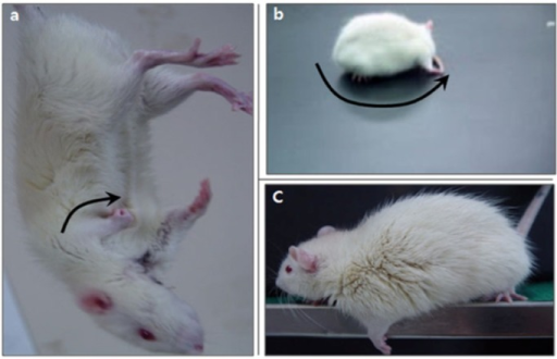 Neurological dysfunction in WKY and SHR rats with sham or MCAo surgery. (a) Paralytic forelimb was flexed during tail suspension (arrow). (b) Spontaneous circling was shown on the paretic side. (c) Decreased grip power of the left forelimb when the tail was pulled.
