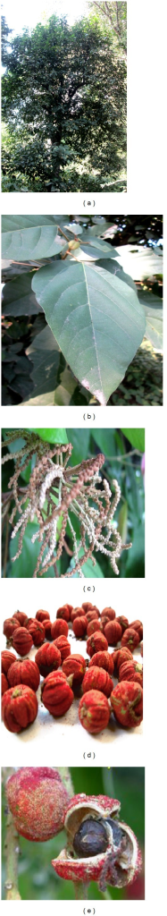 Mallotus philippinensis. (a) Mature plant; (b) leaf; (c) initial inflorescence of seed setting; (d) mature fruits twig; (e) mature fruit with seed.