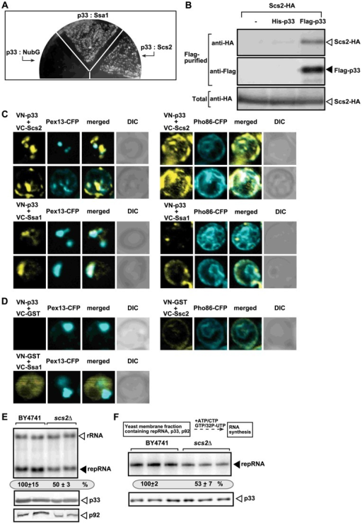The tombusvirus p33 replication protein binds to the yeast Scs2p VAP protein in the ER.(A) The split ubiquitin assay was used to test binding between p33 and Scs2p in wt (NMY51) yeast. The bait p33 was co-expressed with the shown prey proteins. SSA1 (HSP70 chaperone), and the empty prey vector (NubG) were used as positive and negative controls, respectively. (B) Co-purification of the Scs2p protein with the tombusvirus p33 replication protein. The FLAG-tagged p33 was purified from the membrane fractions of yeast extracts using a FLAG-affinity column. Top panel: Western blot analysis of co-purified 6xHA-tagged Scs2p using anti-HA antibody. Middle panel: Western blot of purified p33 (either His6- or Flag-tagged, as shown) detected with anti-FLAG antibody. Bottom panel: Western blot of 6xHA-tagged Scs2p in the total yeast extract using anti-HA antibody. (C) BiFC analysis of interactions between Scs2p and p33 and between Hsp70 (Ssa1p) and p33. Confocal laser microscopy images also show the peroxisomal localization of Pex13p marker protein (left panels) or Pho86-CFP ER-marker protein (right panels). The merged images at the top show the interaction between p33 and Scs2p and their partial co-localization with Pex13p-CFP or Pho86-CFP ER-marker, while the merged images at the bottom demonstrate the interaction between p33 and Ssa1 and their co-localization with Pex13p. DIC (differential interference contrast) images are shown on the right. Each row represents a separate yeast cell. Note that the Venus-(N-terminal portion) tag was fused to the N-terminus of p33 and the Venus-C tag was fused to host proteins, which are all N-terminal tags. Both p33 and Scs2p have cytosolic N-terminal regions. (D) Control BiFC experiments. Yeast was grown under similar conditions and images were taken as in panel C. (E) Decreased TBSV repRNA accumulation in scs2Δ yeast. To launch TBSV repRNA replication, we expressed His6-p33 and FLAG-tagged p92 from the copper-inducible CUP1 promoter and DI-72(+) repRNA from the galactose-inducible GAL1 promoter in the parental (BY4741) and in scs2Δ yeast strains. The yeast cells were cultured for 16 hours at 23°C on 2% galactose SC minimal media, and then for 24 h at 23°C on 2% galactose SC minimal media supplemented with 50 µM CuSO4. Northern blot analysis was used to detect DI-72(+) repRNA accumulation. The accumulation level of DI-72(+) repRNA was normalized based on 18S rRNA levels. Bottom panels: Western blot analysis of the accumulation level of His6-tagged p33 and FLAG-tagged p92 proteins using anti-His or anti-FLAG antibodies. Each experiment was performed three times. (F) Reduced activity of the tombusvirus replicase assembled in scs2Δ yeast. Top: Scheme of the experimental design. Denaturing PAGE analysis of in vitro replicase activity in the membrane-enriched fraction from wt and scs2Δ yeasts using the co-purified repRNA. The yeast cells were harvested for analysis at 24 h time point after launching TBSV replication. Note that this image shows the repRNAs made by the replicase in vitro. Each experiment was performed three times.