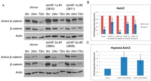 Wnt/β-catenin signaling down-regulation is both dependent and independent of HIF expression.A, Levels of active β-catenin were determined by western blot at different hypoxia time points for each of the shRNA in MNNG/HOS cells. Overall levels of active β-catenin decreased regardless of HIF expression, although the magnitude of decrease was not equal across all lines. Active and total β-catenin protein levels were decreased at the 72 hour time point. Actin was the loading control. B, Decreased Wnt/β-catenin signaling activity under hypoxia was confirmed by measuring axin2 mRNA levels via qrt-PCR in MNNG/HOS cells. Hypoxia (72 hour, 0.5% O2) resulted in decreased axin2 mRNA expression relative to normoxia. C, When analyzed relative to the shnon hypoxia mRNA, axin2 mRNA was increased in the shHIF-1α MNNG/HOS cell lines. Asterisks indicate statistical significance (*p<0.05, **p<0.01, ***p<0.001). shNON: non-targeting shRNA; HIF shRNAs used are indicated in parentheses.