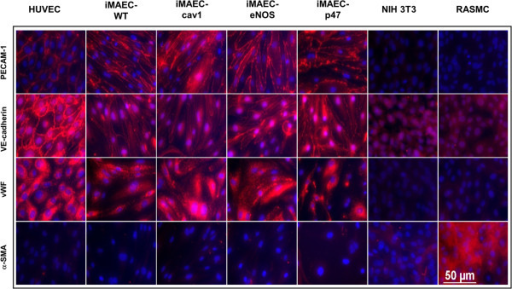 Characterization of iMAEC lines by immunostaining. iMAEC lines including iMAEC-WT, iMAEC-cav1, iMAEC-eNOS, and iMAEC-p47 were immunostained using the endothelial markers, PECAM-1, VE-Cadherin, and von Willebrand factor (vWF). Smooth muscle cell α-actin (α-SMA) was used as negative marker. HUVEC served as a positive control while 3T3 and RASMC were negative controls. Scale bar = 50 μm.