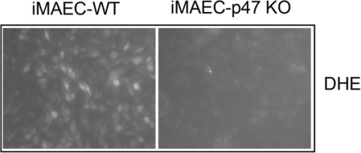 VCAM-1 expression is elevated in iMAEC-eNOS while superoxide production is diminished in iMAEC-p47. iMAEC-WT and iMAEC-p47 were stained with DHE (2 μM) for 30 min and images were acquired using fluorescence microscopy.