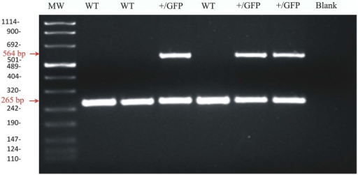 Agarose gel image of PCR products for GAD67 and GAD67-GFP from wild-type and heterozygous GAD67-GFP knock-in mice. Representative PCR products for GAD67 (265 pb) and GAD67-GFP (564 pb) were observed in +/GFP lanes (n = 3) while only the PCR product for GAD67 was present in the wild type lanes (WT, n = 3). The control lane (blank) was negative as expected. The left lane (MW) shows DNA molecular weight markers.