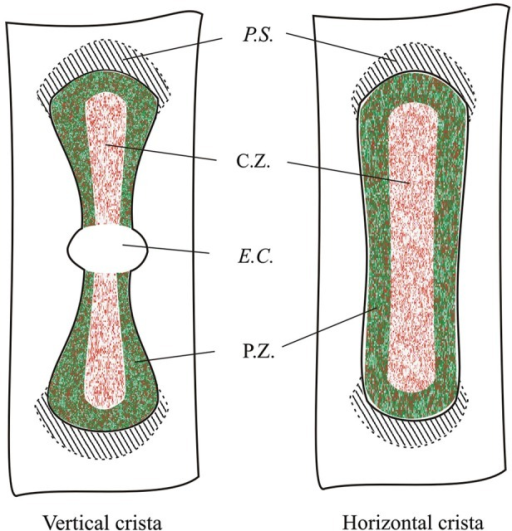 Topographical distribution of GAD67 and GABA in the mouse vertical and horizontal cristae. Schematic representation showing the expression of GAD67 (green) by peripheral supporting cells as inferred by the confocal experiments. Red dots indicate supporting cell expressing GABA. C.Z.: central zone; P.Z.: peripheral zone; P.S.: planum semilunatum; E.C.: eminentia cruciata.