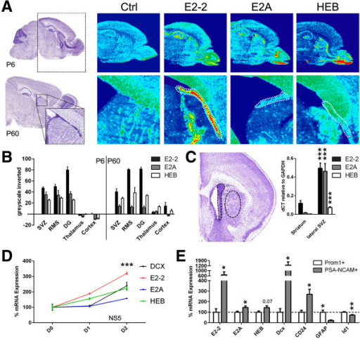 E-protein mRNA expression is enriched in germinal regions of the postnatal and adult forebrain and is increased during NSC differentiation in vitro and in vivo. (A) ISH of E2-2, E2A, and HEB revealed its enhanced expression in the SVZ (dashed zone at P60), the RMS, and the dentate gyrus, when compared to non-neurogenic regions (i.e., thalamus, cortex) at P6 as well as P60. (B) Inverted greyscale quantification of A.(C)E2-2, E2A, and HEB transcripts were highly expressed in the lateral SVZ compared to the striatum (dashed zone circling both regions) (0.18 ± 0.03 vs. 0.5 ± 0.06, 0.02 ± 0.004 vs. 0.46 ± 0.08, 0.003 ± 0.0004 vs. 0.07 ± 0.01, respectively). (D) Upon differentiation, E-protein mRNA levels were upregulated in NS5 cells (two-way ANOVA followed by Dunnett's post hoc test). Differentiation progress was confirmed by upregulation of doublecortin (Dcx) transcripts, an early neuronal marker, and normalized to GAPDH and shown as a percentage vs. D0. (E) E-protein transcription, in particular E2-2, was enhanced in more mature PSA-NCAM+ MAC sorted neuroblasts compared to earlier Prominin-1+ (or CD133+) NSCs/progenitors (100 ± 32.0 vs. 687.8 ± 226.4, 100 ± 9.9 vs. 145.4 ± 15.4, 100 ± 12.1 vs. 144.0 ± 17.4, respectively). Cell sorting efficiency was confirmed by enrichment of Dcx (100 ± 34.0 vs. 1291.3 ± 438.6) and CD24 (100 ± 17.8 vs. 270.1 ± 48.1) transcripts in neuroblasts, while the generic NSC transcripts GFAP (100 ± 20.4 vs. 22.1 ± 4.5) and Id1 (100 ± 6.5 vs. 72.8 ± 4.7) were enriched within Prominin-1+ sorted cells. P values: *P <0.05; **P <0.01; ***P <0.001. All quantifications were normalized to control conditions (D, E).