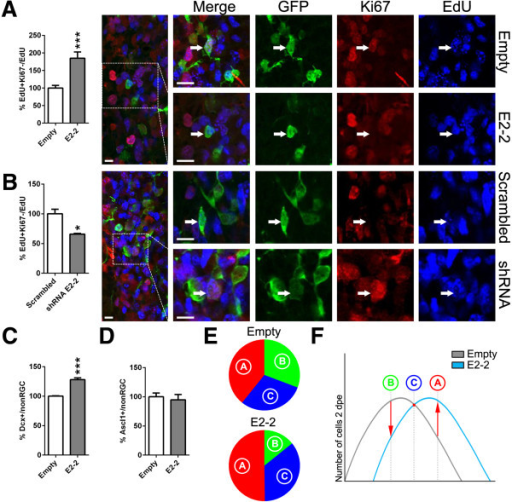 E2-2 alteration influences cell cycle exit of progenitors in vivo. (A)E2-2 overexpression increased cell cycle exit (EdU+Ki67–/EdU+) among the progenitor cell population (non-RGC) compared to control conditions at 2 dpe (100 ± 7.5 vs. 184.9 ± 18.0). Confocal micrographs show representative non-RGCs (GFP+) having cycled within 24 h prior to sacrifice (EdU+) and having re-engaged (Ki67+) or exited the cell cycle (Ki67–), respectively. (B) In contrast, knock-down of E2-2 decreased cell cycle exit within the progenitor pool as illustrated by the increased Ki67 immunoreactivity among EdU+ non-RGCs, when compared to control conditions (Scrambled) (100 ± 7.8 vs. 65.8 ± 1.3). (C, D)E2-2 overexpression also increased the number of Dcx+ neuroblasts (100 ± 0.5 vs. 128.1 ± 2.9) (C), whereas the number of Ascl1+ type-C cells remained unchanged (100 ± 6.4 vs. 94.6 ± 9.2) (D). (E) Percentage of cell type composition (i.e., type-B = RGC, type-C = Ascl1+, type-A = Dcx+) upon E2-2 overexpression, when compared to an empty control plasmid at 2 dpe (30.7 ± 4.6 vs. 14.2 ± 2.3, 30.0 ± 1.2 vs. 35.6 ± 2.5, 39.2 ± 0.3 vs. 50.2 ± 1.8, respectively). (F) Summary model: E2-2 orchestrates neurogenesis progression within the murine forebrain. P values: *P <0.05; **P <0.01; ***P <0.001. Quantifications were normalized to control conditions (A–D). Scale bars: A &B, 20 μm.