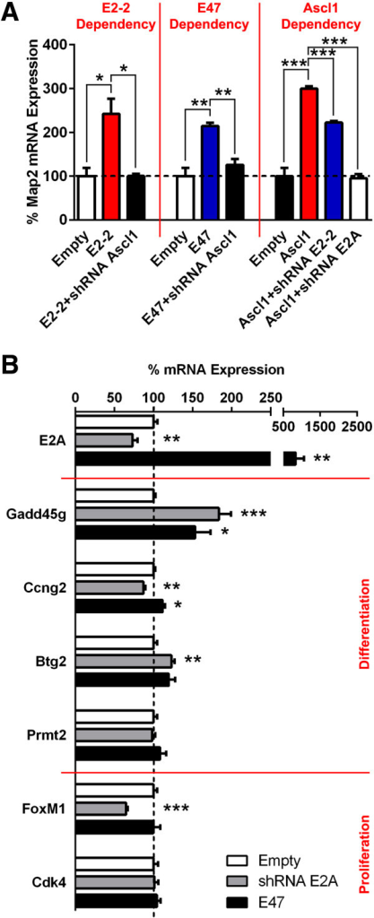 E47 fails to trigger Ascl1 to switch from proliferation to differentiation target genes. (A)Map2 mRNA expression was elevated when Ascl1 was overexpressed in isolated neurospheres in vitro (100 ± 19.1 vs. 299.4 ± 5.8). Concomitant knock-down of E2-2 or E2A using shRNA, respectively, reduced or abolished Ascl1-dependent Map2 expression (299.4 ± 5.8 vs. 222.2 ± 3.7 or 94.9 ± 9.8, respectively). More strikingly, Ascl1 silencing decreased Map2 expression level to control conditions, when E2-2 (100 ± 19.1 vs. 242.4 ± 34.2, 242.4 ± 34.2 vs. 100.3 ± 4.9) or E47 (100 ± 19.1 vs. 214.6 ± 7.1, 214.6 ± 7.1 vs. 125.7 ± 13.6) was overexpressed. (B) Although significant expression changes could be detected, E-protein gain-of-function did not systematically promote activation of Ascl1 target genes mediating cell cycle arrest. Inversely, E-protein silencing did not activate Ascl1 target genes mediating cell cycle progression. P values: *P <0.05; **P <0.01; ***P <0.001. All quantifications were normalized to control conditions.