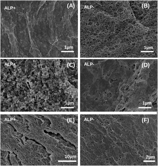 SEM micrographs of the alginate network in ALP-modified (A, C, E) or unmodified (B, D, F) beads taken at day 21 post encapsulation.Cells were cultured in either growth medium (A, B) or osteogenic medium (C-F). Mineral particles with spherical morphology are clearly visible for heavily mineralized samples shown at high and low magnification in panel C and E.