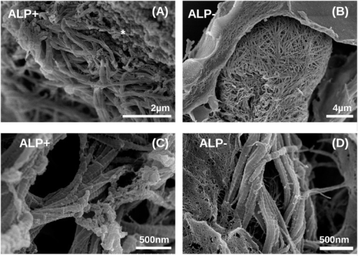 SEM micrographs of collagen fibrils in beads cultured in osteogenic medium.(A, C) low and high magnification of the space close to a cell producing collagen in ALP modified beads (ALP+). Mineral crystals similar to those shown in Fig. 2 are indicated by *; (B, D) low and high magnification micrographs of the space close to a cell producing collagen in unmineralized beads. Images were collected at 21 days post encapsulation.