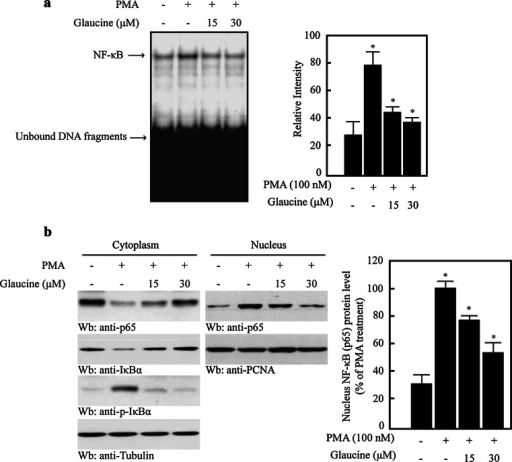 Glaucine inhibits the NF-κB activity in PMA-stimulated MCF-7 cells. a MCF-7 cells were pretreated with the indicated concentration of glaucine for 30 min and incubated with 100 nM PMA for 30 min. Nuclear extracts were prepared and incubated with radiolabeled oligonucleotides containing the NF-κB motif in the MMP-9 promoter. b MCF-7 cells were pretreated with the indicated concentration of glaucine for 30 min and incubated with 100-nM PMA for 30 min. Cells were harvested and fractionated into the cytoplasm and the nucleus. Lysates were then separated on a 10 % SDS–polyacrylamide gel and subjected to western blotting with anti-p65, anti-p-IκBα, and anti-IκBα antibodies. The analysis was repeated in three times, and α-tubulin and PCNA were used as markers for the cytoplasmic and nuclear fractions. The NF-κB protein level that was translocated to the nucleus was quantified by densitometric analyses. The bars represent the mean ± SD. One-way ANOVA was performed to determine statistical significance (*P < 0.05)
