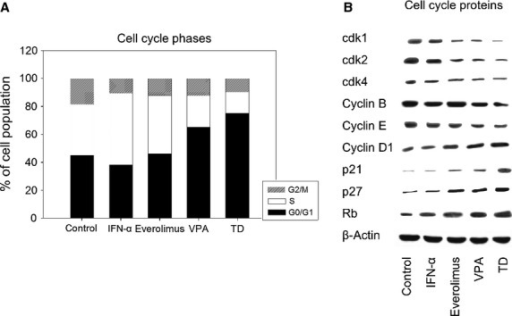 (A) Cell cycle analysis of PC-3 cells. Tumour cells were treated either with 100 U/ml IFNα, 1 nM everolimus or 1 mM VPA, or with all compounds simultaneously (TD). Controls remained untreated. Cell cycle analysis was carried out after 24 hrs. The cell population at each checkpoint is expressed as percentage of total analysed cells. One representative experiment of three is shown. (B) Western blot of cell cycle proteins. PC-3 cells were treated either with 100 U/ml IFNα, 1 nM everolimus or 1 mM VPA, or with all compounds simultaneously (TD). Controls remained untreated. β-actin served as the internal control. The figure shows one representative from three separate experiments.