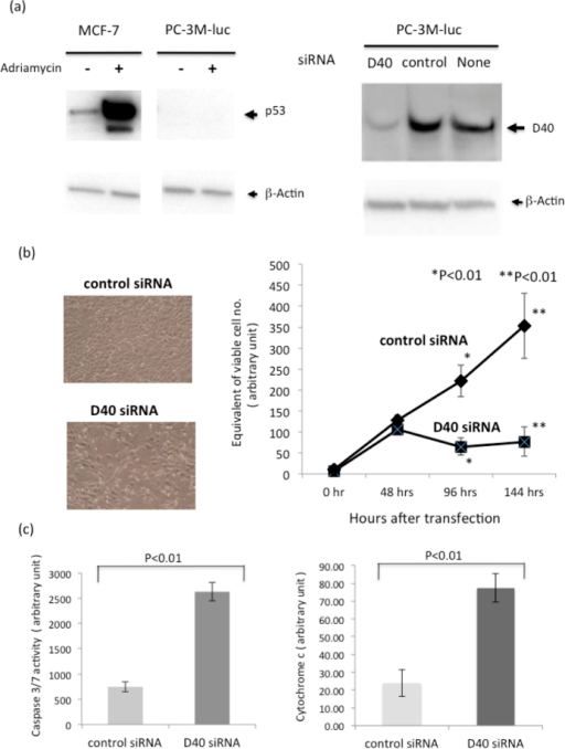 D40 siRNA induces Growth Inhibition and Apoptotic Cell death in the p53- cancer cell line.Confirmation of the p53- state of the PC-3M-luc cell line and depletion of the D40 protein by D40 siRNA. Left: The human p53- cancer cell line PC-3M-luc and human wild-type p53 cancer cell line MCF-7 were treated with adriamycin at a final concentration of 1.0 μg/ml for 17 hrs. Cell lysate preparation and WB analyses were performed as described above. The gels for p53 and β-actin were run under the same experimental conditions, and then the proteins were transferred to a filter membrane. The membrane was cut and divided into two parts. One was probed with the anti-p53 antibody, and the other was probed with the anti-β-actin antibody. p53 protein was absent in PC-3M-luc cells, but p53 protein expression was highly induced in MCF-7 cells. Right: PC-3M-luc cells were transfected with D40 or control siRNA and harvested 60 hrs after transfection for WB analyses. The gels for D40 and β-actin were run under the same experimental conditions, and then the proteins were transferred to a filter membrane. The membrane was cut and divided into two parts. One was probed with the anti-D40 antibody, and the other was probed with the anti-β-actin antibody. (b) Growth Inhibition of the PC-3M-luc cell line by D40 siRNA. Left: Microphotographs of the PC-3M-luc cell line transfected with control RNA (upper) or D40 siRNA (lower) 60 hrs after transfection. Right: Growth curves of the transfected PC-3M-luc cell lines. Cell counting kit-8 was used to determine viable cell numbers. The number of viable cells 96 hrs and 144 hrs after transfection was significantly lower in the D40 siRNA-transfected PC-3M-luc cell line than in the respective control cell lines. (c) D40 siRNA induced the activation of caspase 3/7 and increased cytoplasmic cytochrome c levels in the PC-3M-luc cell line. The PC-3M-luc cell line was transfected with siRNAs as described. Left: Caspase 3/7 activities in the transfected PC-3M-luc cells were determined 96 hrs after transfection. Right: The amount of cytoplasmic cytochrome c was quantitatively determined 70 hrs after transfection.