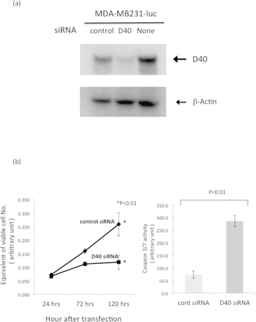Gain-of-Function (GOF) mutant p53 cell line was susceptible to Growth Inhibition and Apoptotic Cell death by D40 siRNA.(a) The GOF mutant p53 cell line MDA-MB231-luc was susceptible to depletion of D40 protein by D40 siRNA. MDA-MB231-luc cells were transfected with D40 or control siRNA, and WB analyses of D40 protein expression were performed 48 hrs after transfection. The gels for D40 and β-actin were run under the same experimental conditions, and then the proteins were transferred to a filter membrane. The membrane was cut and divided into two parts. One was probed with the anti-D40 antibody and the other was probed with the anti-β-actin antibody. (b) D40 siRNA induced Growth Inhibition and Caspase 3/7 activation in the MDA-MB231-luc cell line. Left: Growth curves of the MDA-MB231-Luc cell line. The transfection of siRNAs and the determination of the viable cell number were performed as described in Fig. 2B. Right: Ninety-six hours after transfection, the cells were harvested and caspase 3/7 activities were determined.