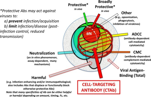 Euler diagram of CTAb in the context of functional antibodies to an enveloped virus. (a) Within the total population virus-reactive antibodies that arise in an individual host, some can be demonstrated to protect against disease caused by the homologous virus, and a subset of these are broadly protective against related viruses. (b) Among the antibodies that can be defined as virus-neutralizing in vitro through any of several mechanisms and assays (see text), some are broadly neutralizing (BN), many but not all are protective in vivo, and neutralizing antibodies do not account for all protective antibodies. (c) Antibodies responsible for ADCC and complement-mediated cytolysis (CMC) form distinct but highly overlapping sets, and depending upon the antigen (as well as Ig isotype and other factors) may include a high proportion of neutralizing antibodies. 'Other' protective antibodies are described elsewhere (Schmaljohn 2013) (d) Antibodies of all types may occasionally be harmful to the host through mechanisms that include autoimmunity, antibody-dependent enhancement of viral infection, increased virus-specific immunopathology, displacing or functionally blocking otherwise-protective antibodies or creating immunosuppressive immune complexes. Some antibodies may be categorized as both protective and harmful, with outcome depending on such things as antibody concentration, timing of antibody arrival relative to viral load and host variations in inflammatory response. It can further be inferred that single antibody specificity (as defined by clonal lineage and paratope) may be protective, harmful or impotent depending upon Ig isotype and its consequences. (e) CTAb, often polyfunctional, are those that bind viral antigen on virus-infected (and sometimes uninfected but virus-sensitized) cells, potentially marking cells for damage or destruction by FcR-bearing cells before peak viral production by the antigen-bearing cells. Antibody-mediated protection in vivo is very often dependent upon Fc–FcR interactions regardless of whether antibodies are also categorized as neutralizing. Opsonization facilitated by antibodies against virion surfaces may play a role in vivo, but the larger body of virological evidence points toward CTAb mediating protection in concert with FcR-bearing cells of various types.