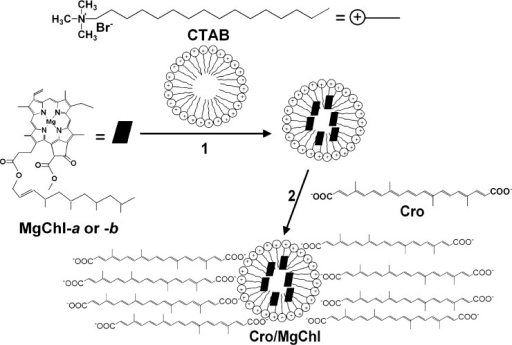 Schematic representation of the preparation of Cro/MgChl.