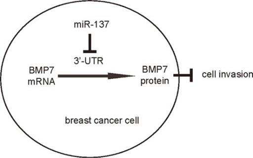 Schematic of the modelMiR-137 enhances BC cell EMT and invasion, through translational suppression of BMP7.