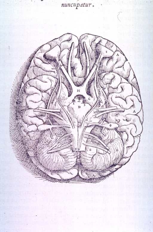<p>Basal view of the base of the brain and cranial nerves.</p>