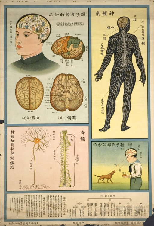 <p>The poster consists of 4 images of the anatomy of the nervous system, including the brain, spinal cord, and periopheral nervous system.  The very bottom part of the poster has texts explaining the nervous system and function of the brain.</p>