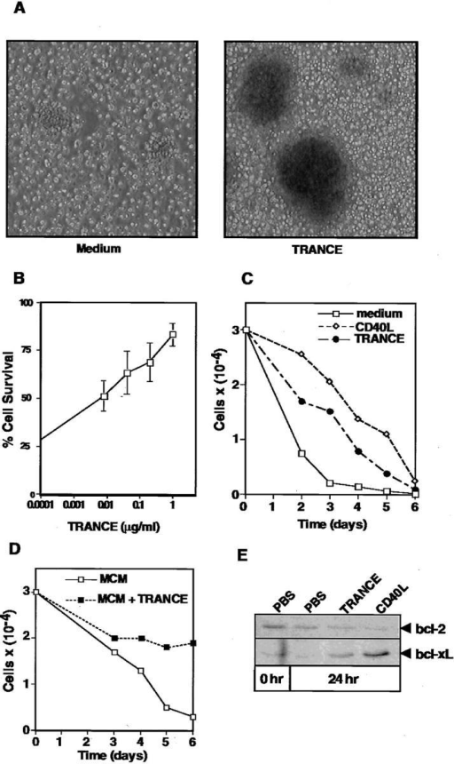 TRANCE is a DC survival factor that upregulates Bcl-xL.  (A) BMDCs were cultured in complete medium in the presence or absence of recombinant TRANCE (1 μg/ml) for 48 h and were then visualized under an inverted light microscope. (B) Duplicate wells containing  3 × 104 BMDCs were cultured with increasing doses of recombinant  TRANCE in complete medium in flat-bottomed 96-well plates. The  percentage of cell survival was assessed 48 h later by trypan blue exclusion.  The average of three experiments, and the SEMs, are shown. (C) 3 × 104  BMDCs were cultured in complete medium in the presence or absence of  recombinant TRANCE (1 μg/ml) or mCD8-CD40L (1/1,000 of the  culture supernatants). Cell viablity was assessed daily by trypan blue exclusion. Representative data of three independent experiments are shown.  (D) 3 × 104 GM-CSFs and IL-4 stimulated human monocyte-derived  DCs were cultured for 2 d in monocyte conditioned medium to generate  mature DCs (26). Thereafter, DCs were cultured in the presence or absence of recombinant TRANCE (1 μg/ml) and cell viability was assessed  each day by trypan blue exclusion. (E) 50 μg of protein extracted from  BMDCs that had been cultured for 24 h as described in Fig. 2 C were analyzed for Bcl-2 and Bcl-xL protein expression by Western blot analysis.  Basal levels of Bcl-2 and Bcl-xL were determined in day 8 BMDCs (0 h).