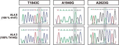 Sequence analyses of the mitochondrial 16S rRNA genes. Displayed are the electropherograms related to the 1843, 1940 and 2623 positions in the 16S rRNA genes of the AL4.8 and AL4.3 cells. The shaded areas highlight the homoplasmic and heteroplasmic peaks of wild-type and mutated mtDNAs, respectively.