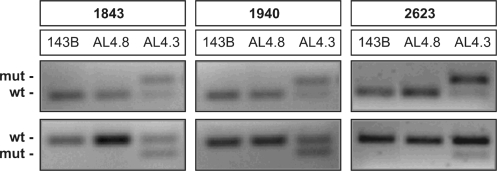 Mispairing PCR and RFLP analyses of heteroplasmic point mutations in the mitochondrial 16S rRNA gene. The 1843, 1940 and 2623 positions were analyzed by RFLP analyses as described under Materials and methods section. XmiI, SacI and BshTI restriction enzymes were used to cleave the mispairing PCR products carrying the wild-type genotype at positions 1843, 1940 and 2623, respectively (upper panels). RsaI and Bsp120I restriction enzymes were used to cleave the mispairing PCR products carrying the mutant genotype at positions 1843 and 1940 or 2623, respectively (lower panels). The displayed ethidium bromide stained gels (upper and lower panels) refer to representative experiments.
