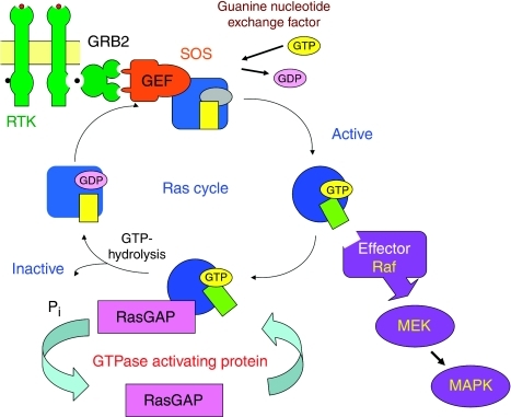The Ras cycle. Ras proteins are key components of signal transduction pathways leading from cell-surface receptors to the control of cell proliferation, differentiation or death. Active Ras, where tumour-specific mutations lock Ras in the GTP-bound conformation, stimulates the RAS–RAF–MEK–ERK–MAP kinase signalling pathway.