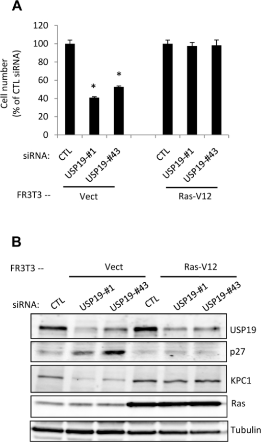 The ability of depletion of USP19 to regulate cell growth and p27Kip1 is lost in FR3T3 fibroblasts transformed by constitutively active Ras.(A) Rat FR3T3 fibroblasts expressing an activated Ras oncogene (Ras-V12) or empty vector were transfected with USP19 siRNA oligonucleotides #1, #43, or nonspecific control siRNA oligonucleotide (CTL). Forty-eight hours after transfection, cells were harvested and counted. Shown are means ± SE of triplicate samples. *, P<0.001 compared to CTL. (B) USP19 depleted FR3T3-vect or FR3T3-Ras cells from experiment described in Fig. 5A were harvested. Equal amounts of protein from lysates were analyzed by immunoblotting with the indicated antibodies.