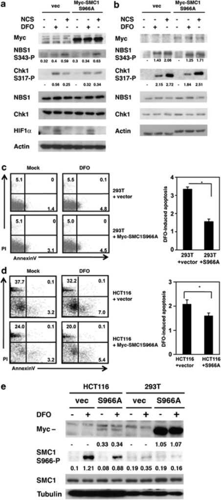 Transfection of 293T cells and HCT116 cells with S966A-mutant SMC1 inhibited the DFO-induced apoptosis. (a) 293T cells and (b) HCT116 cells were transfected with myc-tagged mutant SMC1 plasmid (Myc-SMC1S966A) or a control vector. After 48 h, cells were treated with DFO (300 μM) or NCS (0.5 μg/ml) for additional 24 h. Total extracts were studied for western blotting with indicated antibodies to detect level of HIF1α and phosphorylated proteins of NBS1 S343P and Chk1 at S317P. Actin blot serves as a loading control. (c) 293T cells and (d) HCT116 cells were transfected with plasmid containing mutant SMC1 (Myc-SMC1S966A) or a control vector. After 48 h, cells were treated with DFO (300 μM) for additional 24 h and then apoptosis was analyzed using a flow cytometer (left panel). Dot plot represents two independent experiments, indicating Annexin V staining (right panel). DFO-induced apoptosis was expressed as fold-induction compared with untreated samples (right panel, *P<0.05, Student's t-test). (e) Levels of Myc-tagged SMC1S966A and phosphorylation of endogenous SMC1 at Ser966 were compared in HCT116 and 293T cell lines. The phosphorylation and expression of proteins were analyzed by densitometry as described in Figure 1