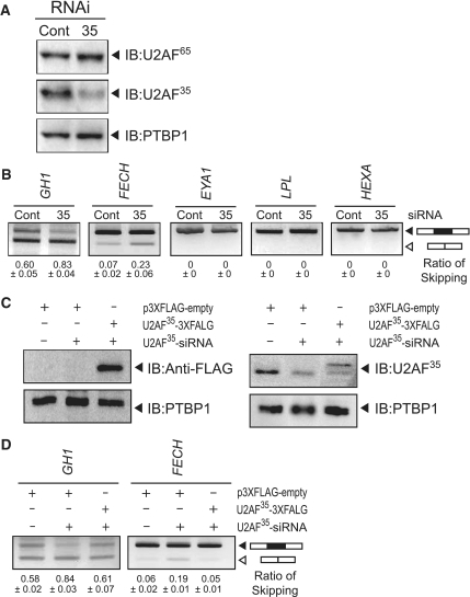 Effects of down-regulation of U2AF35 on pre-mRNA splicing. (A) Western blots demonstrating that U2AF35-siRNA efficiently knocks down U2AF35 but not U2AF65 or PTBP1. (B) Down-regulation of U2AF35 facilitates exon skipping in wild-type GH1 and FECH, but not in wild-type EYA1, LPL and HEXA. (C) Introduction of an siRNA-resistant p3XFLAG-U2AF35 encoding 3× FLAG fused with U2AF35 is visualized by immunoblots against FLAG and U2AF35. (D) Exon skipping facilitated by U2AF35-siRNA is partially rescued by introduction of the siRNA-resistant p3XFLAG-U2AF35.