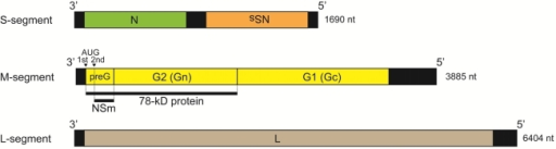 Schematic representation of Rift Valley fever virus (RVFV) genome structure. S-encodes N and NSs proteins in an ambisense manner, the M-segment NSm, 78 kD protein Gn and Gc, and the L-segment L proteins. The 78 kD and NSm proteins are synthesized from 1st and 2nd AUG of M mRNA.