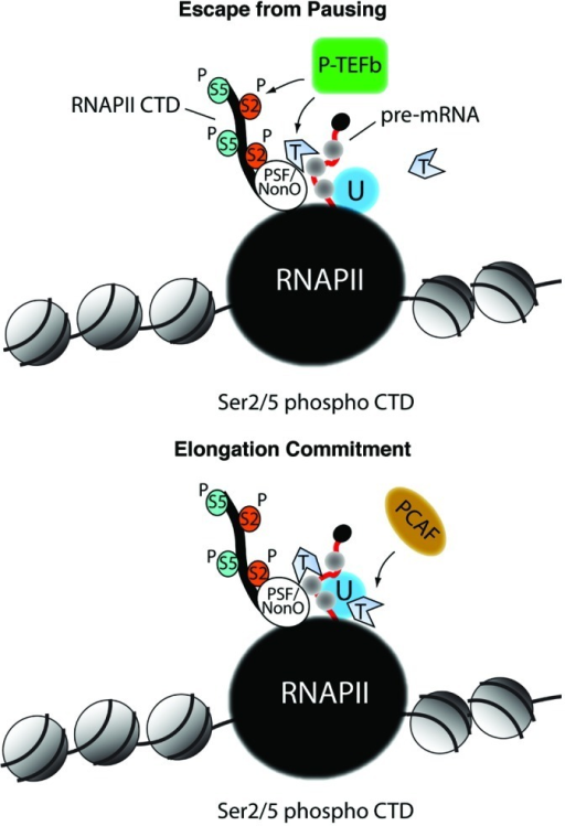 Figure 1. The possible contribution of actin in RNA polymerase II transcription activation. Top panel, monomeric actin interacts with the PSF/NonO complex to recruit the positive elongation factor P-TEFb with the subunit cdk9. This in turn leads to Ser2 phosphorylation within the heptapeptide repeats of the RNA polymerase II CTD. This mechanism promotes RNA polymerase II CTD escape from pausing. Bottom panel, the CTD associated-actin interacts with hnRNP U and this mechanism commits the hyperphosphorylated RNA polymerase II to transcription elongation through recruitment of the HAT PCAF. RNAPII, RNA polymerase II; U, hnRNP U; T, ATP-actin; P-S2, phosphorylated Ser2; P-S5, phosphorylated Ser5.