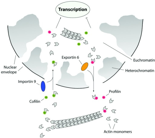 Figure 4. The actin nucleocytoplasmic transport cycle. Actin is actively imported into the nucleus in complex with cofilin. Ran-dependent nuclear import requires the import factor importin 9 which interacts with actin-associated cofilin. In the nucleus actin is excluded from heterochromatin and it is mostly found to be coupled to euchromatin and consistently, actin import supports transcription. From the cell nucleus actin is exported in complex with profilin. Active nuclear export of the profilin-actin complex is regulated by exportin 6 which specifically targets profilin. By controlling the nucleocytoplasmic shuttling of actin, cofilin and profilin tightly regulate transcription and gene activity.