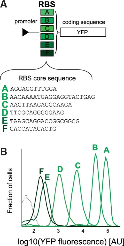 (A) A small set of RBS sequences was designed to span several orders of magnitude of protein expression. The RBS set was composed of six pre-characterized RBS core sequences flanked by constant upstream and downstream insulators that were paired to the genes of interest, as detailed in Supplementary Figure S4 and Supplementary Methods. (B) Flow cytometry fluorescence measurements of cells expressing YFP, where in each clone a different RBS sequence (A–F) was located upstream to the coding sequence. (−) represents the autofluorescence of cells when no fluorescent protein is expressed.