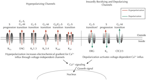 Key ion channels that regulate Vm and cell cycle progression in cancer. Hyperpolarizing channels (outward IK, red) would increase the driving force for Ca2+ influx through voltage-independent channels, whereas inwardly rectifying K+ channels (predominantly inward IK, green) and chloride channels (outward Cl−, green) would depolarize the Vm, thus enabling activation of voltage-dependent Ca2+ influx (Schwab et al., 2012). Time- and domain-dependent Ca2+ signaling is then proposed to activate pathways that promote cell cycle progression and proliferation. Abbreviations: KCa, Ca2+-activated K+ channel; EAG, ether à go-go channel; Kv, voltage-gated K+ channel; KATP, ATP-sensitive K+ channel; K2P, two-pore domain K+ channel; ERG, EAG-related gene K+ channel; Kir, classic inward-rectifier K+ channel; ClC2/3, chloride 2/3 channel.