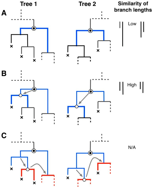 Kernel-assisted comparison of two tree shapes.For trees comprising  and  nodes, respectively, there are  pairs of nodes to evaluate. (A) Starting from a given pair of nodes (indicated in figure by circles with double-outlines), the algorithm finds the largest common subset tree rooted at these nodes. First, we find that for both nodes, neither of the branches terminate at a 'leaf node' (marked with ''). This match contributes a relatively small amount to our kernel score, not only because the matching subset trees (highlighted in thick blue lines) comprise only one node each, but also because their discordant branch lengths lead to a substantial penalty. (B) Next, we descend down the left branch in both trees. The current nodes (open circles) in both trees spawn one leaf node and one internal node; therefore, the subset trees continue to match. In addition, their branch lengths are similar, so their contribution to the cumulative kernel score is given greater weight. (C) Finally, we descend down the right branch in both trees and find that the subset trees no longer match beyond this point. We also proceed down the right branch of the reference nodes and find no match, so our traversal of the two trees from these nodes is complete and we restart our search at the next pair of nodes.