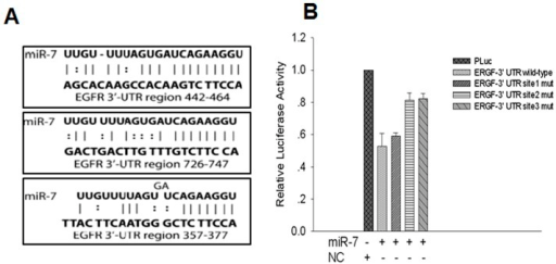 miR-7 downregulate EGFR by interaction with 3′UTR.(A) Diagram of EGFR 3′UTR reporter construct. (B) The wild type or mutant reporter plasmids were cotransfected with miR-7 or NC in ES-2. (*P<0.05. **P<0.01).