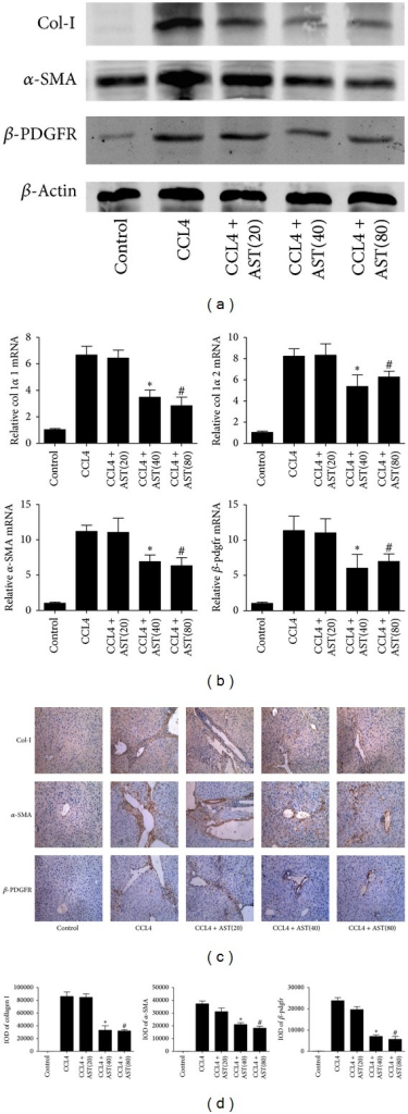 Effect of astaxanthin on the activation of HSCs. (a) The analysis of western blotting showed that astaxanthin obviously decreased the expression of α-SMA, β-pdfgr, and collagen I with the doses of 40 mg/kg and 80 mg/kg. (b) The mRNA levels of collagen I  α1, collagen I  α2, α-SMA, and β-pdgfr were significantly downregulated by astaxanthin (40 mg/kg and 80 mg/kg). Data are expressed as mean ± SD (n = 7, *P < 0.05 for CCL4 + AST(40) versus CCL4, #P < 0.05 for CCL4 + AST(80) versus CCL4). (c) The areas of positive cells of α-SMA, β-pdfgr, and collagen I were diminished by astaxanthin (40 mg/kg and 80 mg/kg), showed by immunohistochemistry staining (original magnification: ×200). (d) The IODs of α-SMA, β-pdfgr, and collagen I were analyzed by Image-pro Plus 6.0. There existed a significant decrease with astaxanthin (40 mg/kg and 80 mg/kg) treatment (n = 7, *P < 0.05 for CCL4 + AST(40) versus CCL4, #P < 0.05 for CCL4 + AST(80) versus CCL4).