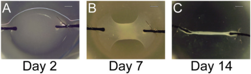 Progenitor-seeded fibrin gels form tendon-like structures. (A) Stem/progenitor cells are seeded within fibrinogen/thrombin; at Day 2, a distinct gel bridges the two silk sutures. (B) By Day 7, the fibrin within the structure has commenced contracting. (C) By Day 14, the construct has contracted into a long, narrow structure in which tension is applied uniaxially. Representative images are from tendon proper-derived stem/progenitor-cell-seeded constructs (Bar: 200 μm).