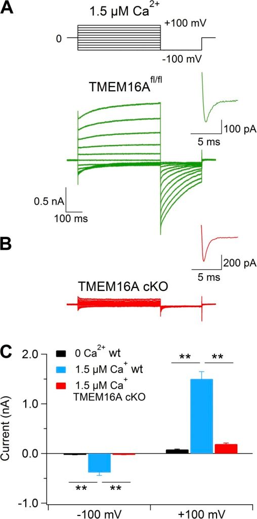 Lack of Ca2+-activated currents in vomeronasal sensory neurons from TMEM16A conditional knockout mice. Representative whole-cell recordings obtained with an intracellular solution containing 1.5 µM Ca2+ from vomeronasal sensory neurons dissociated from TMEM16Afl/fl (A) or TMEM16A cKO (B) mice. Insets show the enlargement of the recordings of voltage-gated inward currents activated by a step to 0 mV from the holding potential of −100 mV, as indicated in the voltage protocol at the top of the figure. (C) Mean current amplitudes measured at −100 or 100 mV with intracellular pipette solution containing nominally 0 (black bar; n = 6) or 1.5 µM free Ca2+ from WT (blue bar; n = 28) or TMEM16A cKO mice (red bar; n = 20). Error bars indicate SEM (**, P < 0.01; Dunn–Hollander–Wolfe test after Krustal–Wallis analysis).
