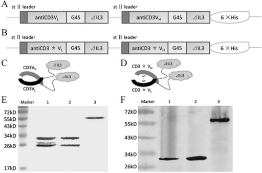 Expression and purification of the fusion proteins antiCD3Fv-⊿IL3 and the ds-antiCD3Fv-⊿IL3. Schematic of the expression plasmid for (A) antiCD3Fv-⊿IL3 and (B) ds-antiCD3Fv-⊿IL3, and structure of the fusion proteins for (C) antiCD3Fv-⊿IL3 and (D) ds-antiCD3Fv-⊿IL3. Note: the drawing is not to scale; asterisk (*) indicates the site of the disulfide bond. The fusion proteins were expressed in E. coli, purified by affinity chromatography, and analyzed by SDS-PAGE and immunoblotting. (E) Colloidal staining of a SDS-PAGE gel. Lane 1: antiCD3Fv-⊿IL3 in non-reducing loading buffer; lane 2: ds-antiCD3Fv-⊿IL3 in reducing loading buffer; lane 3: ds-antiCD3Fv-⊿IL3 in non-reducing loading buffer. (F) Immunoblot analysis of the SDS-PAGE gel with an anti-His-tag antibody. Lane 1: antiCD3Fv-⊿IL3 in non-reducing loading buffer; lane 2: ds-antiCD3Fv-⊿IL3 in reducing loading buffer; lane 3: ds-antiCD3Fv-⊿IL3 in non-reducing loading buffer.