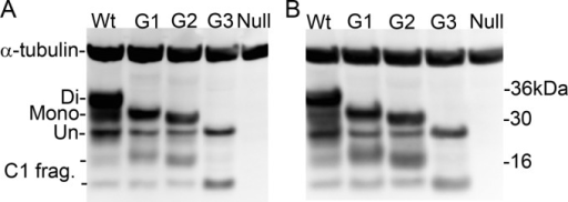 PrPC expression levels in the brains of glycosylation-deficient transgenic mice. Representative Western blots showing the different PrPC isoforms in wild-type (Wt), G1, G2, and G3 mice using BC6 (A) and BH1 (B) antibodies. Western blots underwent densitometry to measure levels of PrPC. α-Tubulin was used as a loading control. The different isoforms of PrPC are denoted Di (for diglycosylated), Mono (monoglycosylated), Un (unglycosylated), and C1 frag. (C1 fragments).
