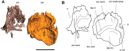 Isolated elements of the right otic capsule of Dvellecanus carrolli, gen. et sp. nov. (UCMP 202940).Scan (A) and interpretive line drawing (B) in ventromedial oblique view, with the anterior oriented to the left. Surrounding braincase elements have been removed to expose the otic capsule. Scale bar equals 1mm. Abbreviations: ant semi, groove for the anterior semicircular canal; cr inf, crista interfenestralis; fen vest, fenestra vestibuli; hor semi, groove for the horizontal semicircular canal; lag cr, lagenar crest; lag rec, lagenar recess; opi, opisthotic; pro, prootic; rec scala tymp, recessus scala tympani; V, fenestra prootica; X, foramen for the vagus nerve and jugular vein.