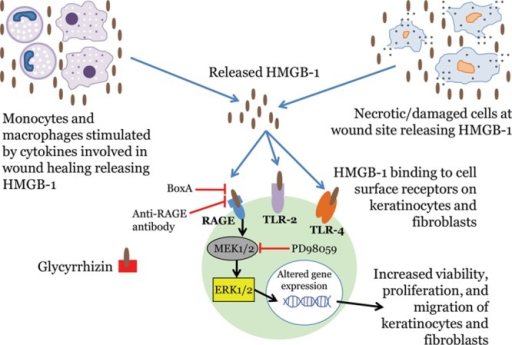 The role of HMGB-1 in wound healing. HMGB-1 is released actively by stimulated monocytes and macrophages and passively by necrotic/damaged cells.5,6 It exerts its effects by binding to cell surface receptors (on keratinocytes and fibroblasts), particularly the RAGE and the TLRs 2 and 4.7,8 HMGB-1 exerts its effects on wound healing by binding primarily to RAGE and activating MEK1/2, which then activates ERK1/2.9,10 ERK1/2 then translocates to the nucleus, where it presumably alters gene expression, resulting in increased viability, proliferation, and migration of keratinocytes and fibroblasts.9–13 Inhibitors of HMGB-1 activity, along with their specific points of intervention, are also shown.9–11 TLRs indicates toll-like receptors.