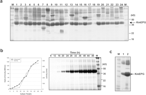 Selection of optimal TFP and production of endopolygalacturonase (KmEPG1) by using the mini-translational fusion partner (TFP) library.(a) SDS-PAGE analysis of KmEPG1 expressed by selected TFPs. A 0.6-mL aliquot of the culture supernatant was analysed on a 10% Tricine gel after precipitation with acetone. M: standard protein size marker, lane 1: TFP1-4, lane 2: TFP2, lane 3: TFP3, lane 4: TFP3-1, lane 5: TFP18, lane 6: TFP16, lane 7: TFP4, lane 8: TFP5, lane 9: TFP6, lane 10: TFP7-1, lane 11: TFP8, lane 12: TFP9, lane 13: TFP10, lane 14: TFP11, lane 15: TFP12, lane 16: TFP13, lane 17: TFP14-1, lane 18: TFP15, lane 19: TFP16-3, lane 20: TFP17-3, lane 21: TFP18-1, lane 22: TFP19-1, lane 23: TFP20, lane 24: TFP14. (b) Profile of fed-batch fermentation and SDS-PAGE analysis of fermentation broth (10 μL) retrieved at the indicated times. (c) Comparison of KmEPG1 secretion level between native secretion signal (lane 1) and TFP3 (lane 2). The protein was revealed by Coomassie staining.