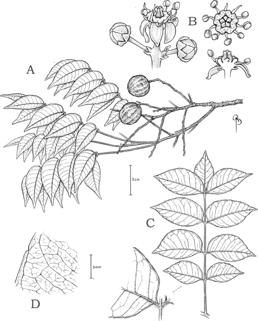 Spondiasadmirabilis. A Fruiting branchlet B Cymule with flower at anthesis (left); top view of stamens, disk, and immature pistil (right top); and longisection at center of flower with more of stamens removed C Whole leaf (right) and rachis plus leaflet bases (inset) D Leaf venation detail. A from Farney et al. 3957 (NY). B from Lanna Sobrinho 1587 (NY). C–D from Farney et al. 4172 (NY).