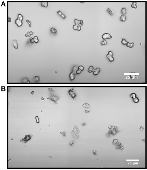 Optical image of bilobate phytoliths and other silica debris from Samples A (A) and E (B). Sample E contains more silica remnants of other tissues. Scale bar = 25 μm.