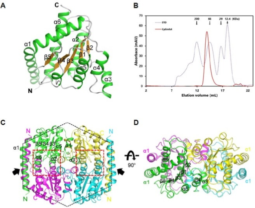 Overall structure of CpsGmhA. (A) The overall structure of the monomeric CpsGmhA is shown as a cartoon representation. The α-helices, β-sheets, and loops are colored in green, brown, and grey, respectively. (B) Size exclusion chromatogram of CpsGmhA for the measurement of molecular weight. The estimated molecular weight is 84 kDa based on the standard (STD), whereas the calculated molecular weight of the monomer is 20.9 kDa. (C) The overall structure of tetrameric CpsGmhA viewed from the top. The four monomers are colored green, yellow, cyan, and magenta, respectively. The active sites are marked with red dotted lines. The black arrows indicate the clamp helical regions. The black dashed hexagon indicates the overall shape by interactions of the α1 helices. (D) Side view of the CpsGmhA tetramer by 90° rotation over an X-axis from Fig. 1C.