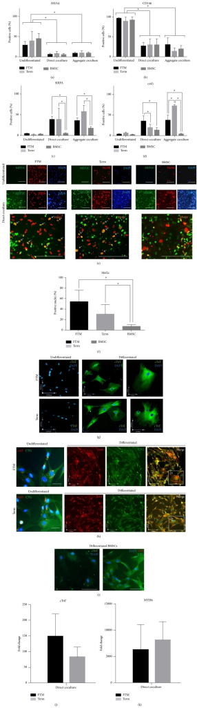 In vitro cardiomyogenic differentiation of human MSCs. (a–d) FC analysis of hMSCs. Undifferentiated MSC markers SSEA4 (a) and CD146 (b), cardiomyocyte marker SIRPA (c), and gap junction protein connexin 43 (cx43, (d)) levels expressed as % of overall human cell counts in undifferentiated and differentiated (direct coculture, aggregate coculture) first trimester PVC (FTM), term HUCPVC (term), and bone marrow (BMSC). ∗ indicates statistically significant difference (p < 0.01, nFTM = 9, nterm = 9, nBMSC = 6). (e) Confocal microscopy images of Mef2c (green) and HuNu (red) immunostaining in FTM and term HUCPVCs and bone marrow MSC containing rat primary cardiomyocyte cultures in comparison with undifferentiated MSCs. Blue: Hoechst (DAPI) Arrows mark double positive nuclei. Bar = 100 μm. (f) Quantification of Mef2c and HuNu double positive nuclei in direct cocultures, expressed as % of HuNu positive (overall hMSC) counts. 50 independent, random fields of sight assessed per MSC type. ∗p < 0.01. (g–i) Confocal microscopy images of TRA-1-85high FTM and term HUCPVCs sorted from direct cocultures compared with undifferentiated cultures. Connexin 43 ((h, i), red) and cardiac troponin T ((g, i), green) stainings. For connexin 43, cells were counterstained with fixable dye (CellTracker Green). (h) Inner box: 2x magnification of representative fields showing intracellular distribution of cx43 positive puncta. Scale bars (e, i): 100 μm; (g, h): x = 54 μm and y = 48 μm and x = 100 μm and y = 110 μm. Blue: Hoechst (DAPI filter). (j, k) Quantitative PCR analysis of cardiac troponin T (cTnT, (j)) and heavy chain cardiac myosin (MYH6, (k)) in TRA-1-85high FTM and term HUCPVCs sorted from direct cocultures. Values expressed as fold change in comparison to undifferentiated cells. n = 4.