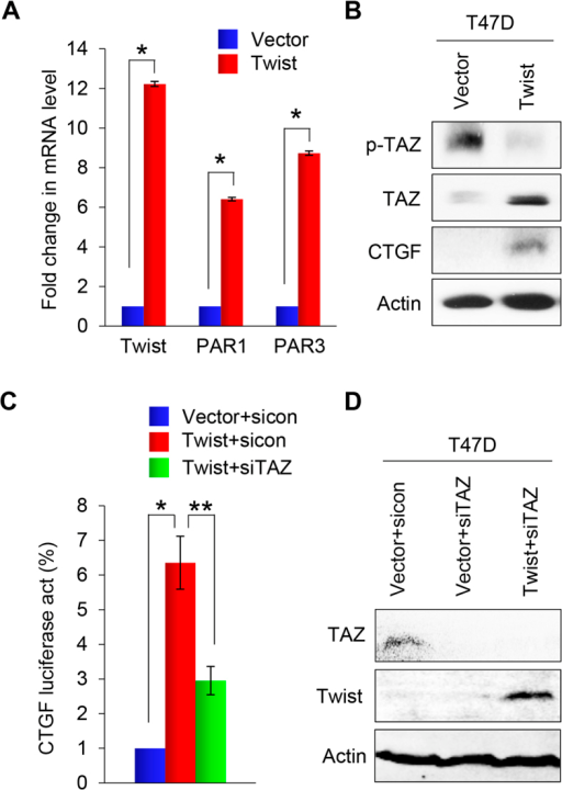 Overexpression of Twist induces the activation of PAR1 signaling.(A) Graphic representation of the fold change in mRNA levels of Twist, F2R and F2RL2 in Twist-expressing T47D cells compared with control vector cells by real-time PCR. Presented data are the mean ± SD of three separate experiments, with *indicates p < 0.01 when comparing with control values. (B) Western blot analysis for p-TAZ, TAZ and CTGF expression in EMT-induced Twist-expressing T47D cells or T47D cells expressing control vector. Actin served as a loading control. (C) Effect of TAZ siRNA or NTC siRNA on CTGF promoter luciferase activity in Twist-overexpressing T47D cells and T47D cells expressing control vector. Assessments were made after 48 hours in culture. Presented data are mean ± SD of normalized luciferase activities determined from three separate experiments. *indicates p < 0.01 when control siRNA expressed in Twist-T47D cells compared with in vector control cells; and **indicates p < 0.01 when compared expression of TAZ siRNA and control siRNA in Twist-T47D cells. (D) Effect of TAZ siRNA on TAZ and Twist expression in EMT-induced Twist-expressing T47D cells and in T47D cells expressing control vector by western blot analysis. Actin served as a loading control.